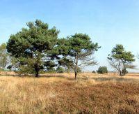Kiefern und Heide