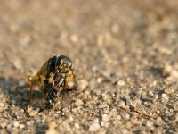 Wespe erbeutet eine Fliege